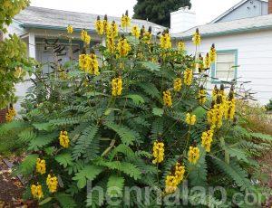 Cassia vagy kasszia gyógynövény, festőnövény