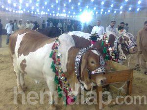 Eid tehén, Pakisztán
